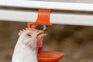 broiler Drinking Systems