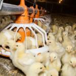 pullet-chicks