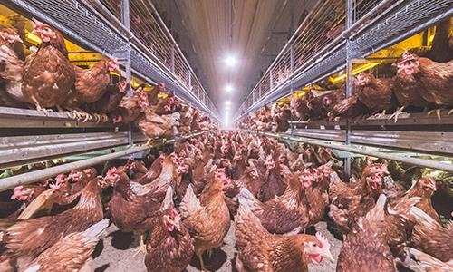 egg production equipment