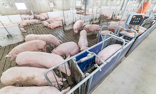 Electronic Sow Feeding