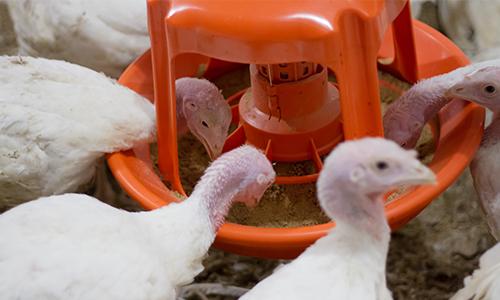 Gladiator turkey feeding