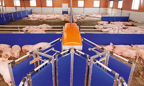 pig sorting